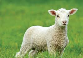 lamb-white